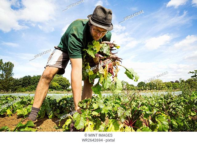 A man working in the field, pulling glossy red beetroots up