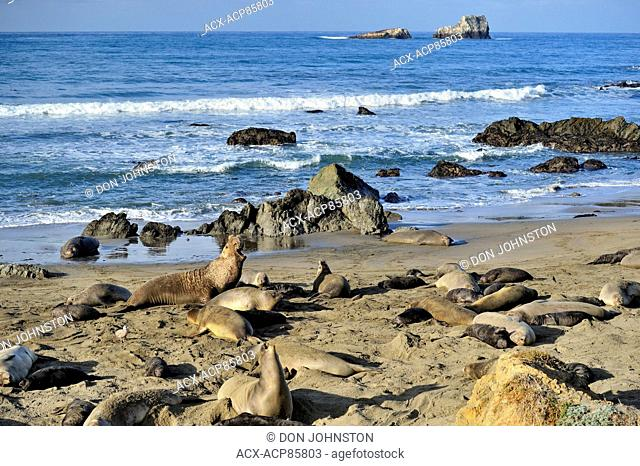 Northern elephant seal (Mirounga angustirostris) Hauled out animals resting in breeding rookery, San Simeon, Piedras Blancas Rookery, California, USA