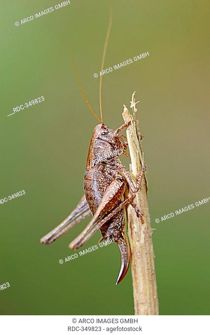Dark Bush-cricket, female, North Rhine-Westphalia, Germany / Pholidoptera griseoaptera / Dark Bush Cricket