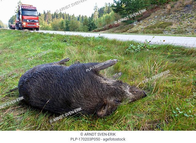 Wild boar (Sus scrofa) roadkill after collision with speeding car