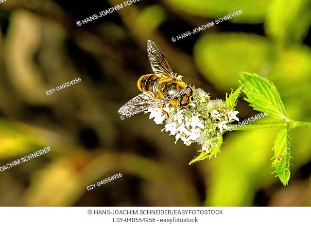 hover-fly on a flower of a peppermint in Germany