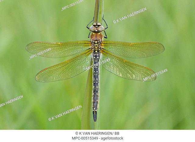 Hairy Dragonfly (Brachytron pratense) female, De Weerribben National Park, Netherlands