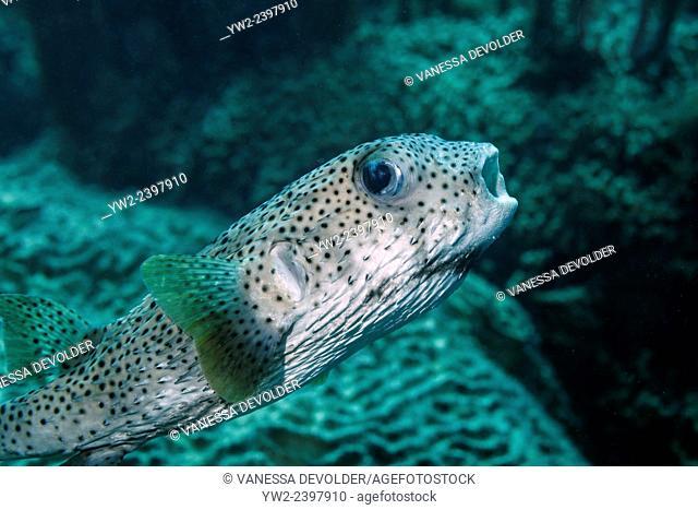 Porcupinefish in the Caribbean sea around Bonaire. Gestippelde egelvis