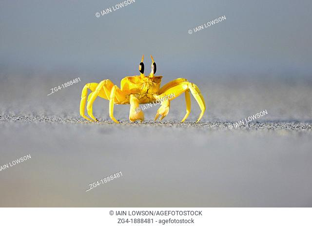 Horned Ghost Crab, Ocypode sp , probably O  ceratophthalmus, Masirah Island, Indian Ocean, Oman