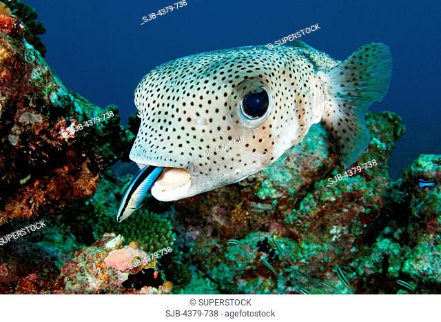 A porcupine pufferfish Diodon hystrix, or spot-fin porcupinefish, being cleaned by a bluestreak cleaner wrasse Labroides dimidiatus, South Ari Atoll