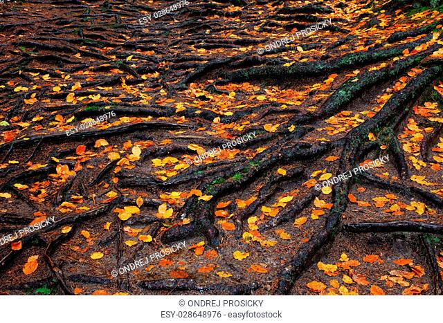 Roots of the tree with orange autumn leaves in the rainy forest