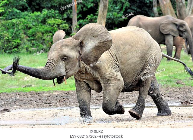 The African Forest Elephant, Loxodonta africana cyclotis, (forest dwelling elephant) of Congo Basin. At the Dzanga saline (a forest clearing) Central African...