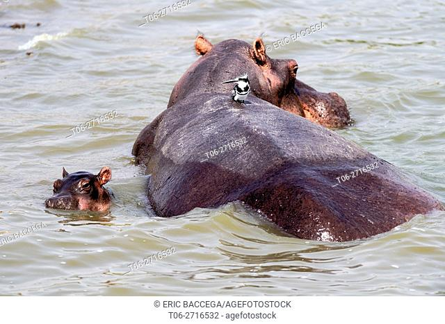 Hippopotamus female with young in water (Hippopotamus amphibius) Edward lake, Queen Elizabeth National Park, Uganda, Africa