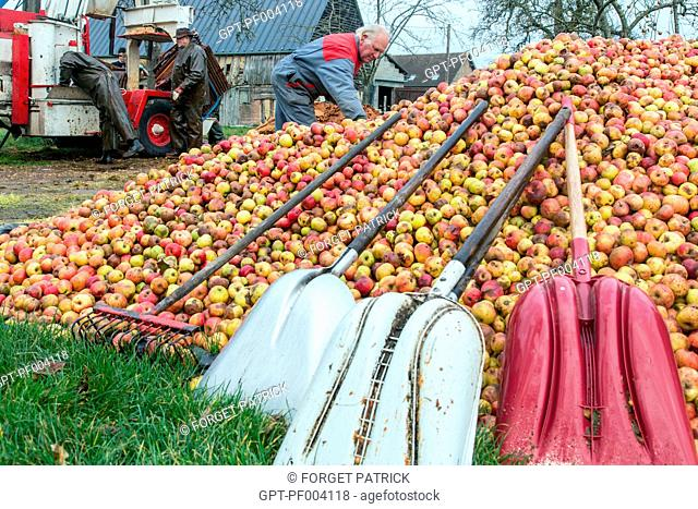 FARMER IN FRONT OF HIS PILE OF APPLES BEFORE MAKING FARM CIDER, CLAUDE COURBE'S FARM, RUGLES (27), FRANCE