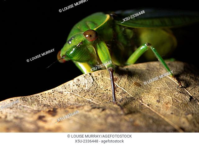 Cyclochila australasiae, the Green grocer cicada, Common Australian insect, Rainforest, Wet tropics World Heritage Area, Queensland, Australia