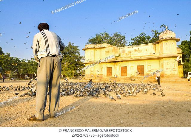 Man and a lot of pigeons in a summer afternoon. Jaipur, Rajasthan, India