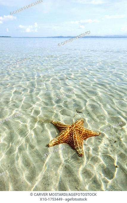 Orange sea stars at Starfish beach on Isla Colon, Bocas del Toro, Panama