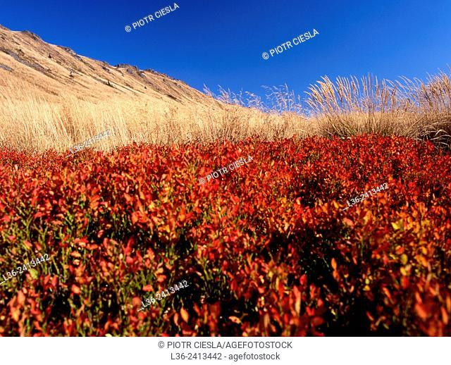 Blackberries in autumn. Bieszczady National Park. Bieszczady mountains. Poland