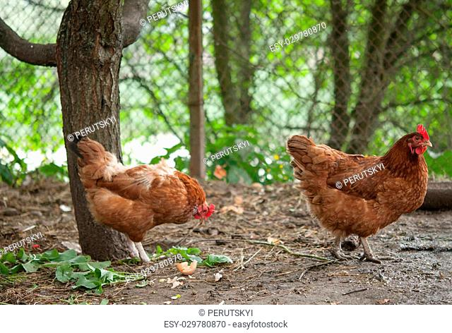 hens in the farm close up