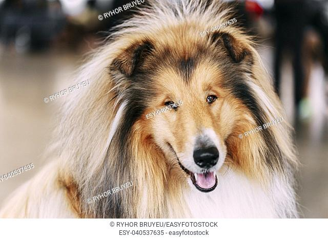 Funny Red Rough Collie Dog Close Up Portrait. Shetland Sheepdog, Sheltie, Collie Dog
