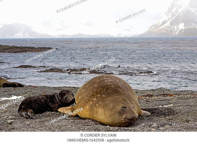 Antarctic, South Georgia Island, Prion Island, Southern Elephnat Seal (Mirounga leonina), mother and new born baby