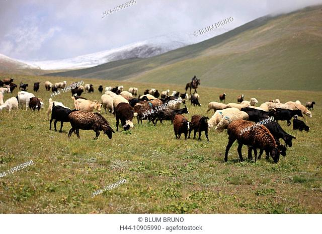 herd, flock, drove flocks. sheep, goat, lamp, shepherd, animals, livestock, pasturage, horseman, Kyrgyzstan, Central Asia, Terskej Alatau, Tianshan, silk road
