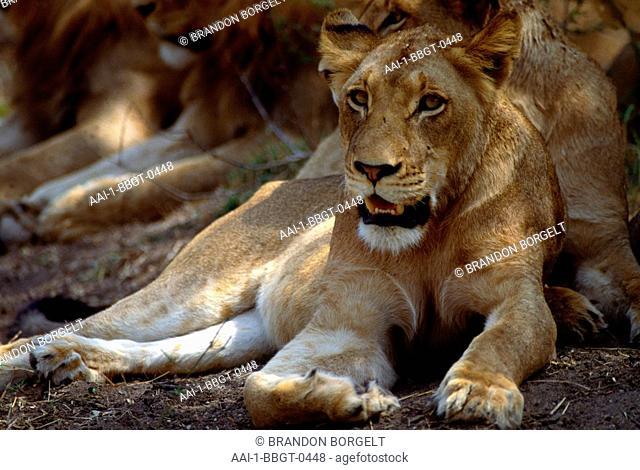 Lioness, Kruger National Park, Mpumalanga, South Africa