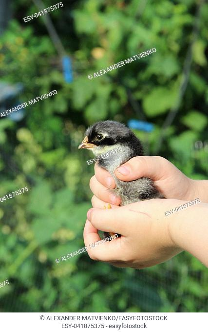 chicken in children's hands. New life. Small bird. Little chicken on poultry farm. Baby chicken in poultry farm. young chicken on human hand