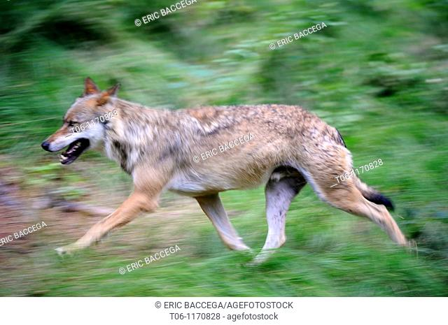European grey wolves running Canis lupus captive, Bayerischerwald National Park, Germany