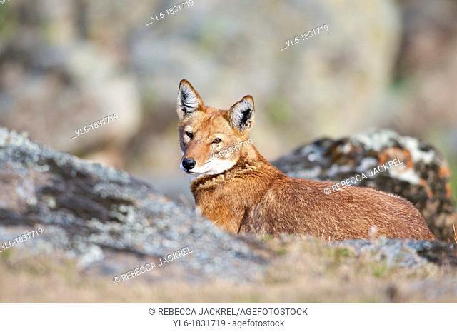 Ethiopian wolf resting