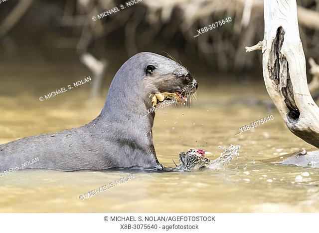 Young giant river otter, Pteronura brasiliensis, feeding near Puerto Jofre, Mato Grosso, Pantanal, Brazil