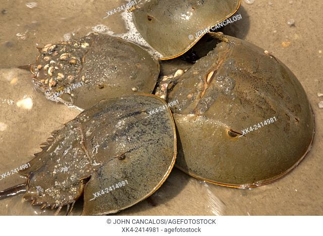 Horseshoe Crabs, Limulus polyphemus, Delaware bay, Delaware, coming ashore to breed. USA