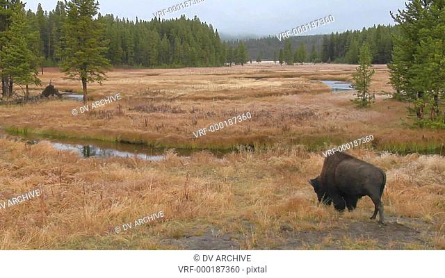 A bison grazes in a clearing at Yellowstone National Park