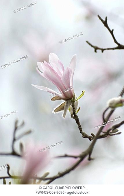 Magnolia, Magnolia kobus