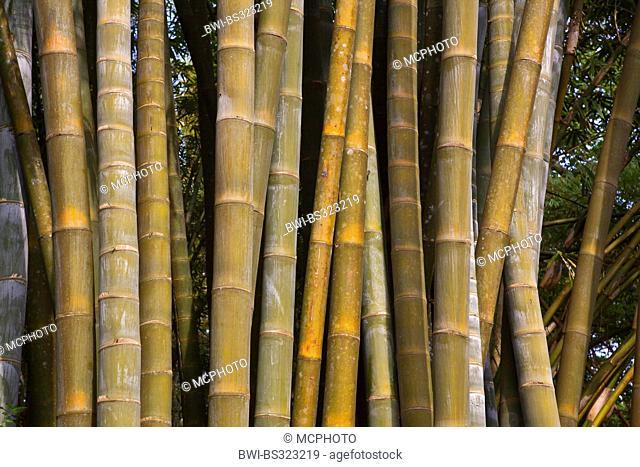 giant bamboo (Dendrocalamus giganteus, Bambusa gigantea), stems, Burma
