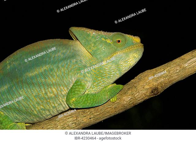 Parson's chameleon (Calumma parsonii parsonii), yellow lip colour variant, male, young, Ranomafana rainforest, Southern Highlands, Madagascar