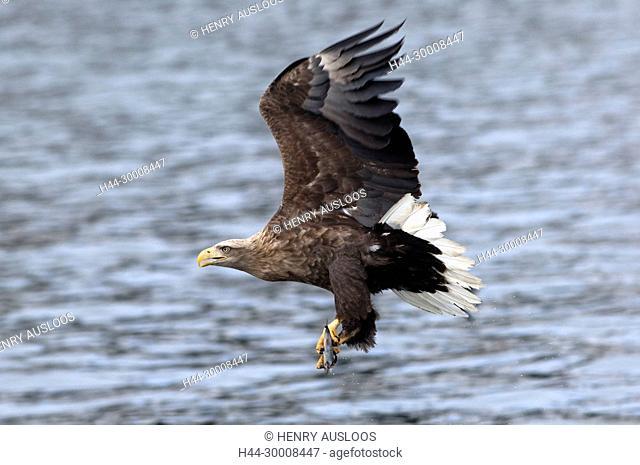 White-tailed Sea-eagle flying (Haliaeetus albicilla) catching a fish, Japan