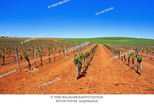 Vineyard in Castile La Mancha of Spain in Cuenca by Saint James Way of Levante