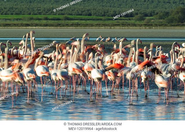 Greater Flamingo - nervous at the Laguna de Fuente de Piedra near the town of Antequera - this is the largest natural lake in Andalusia and Europe\'s only...