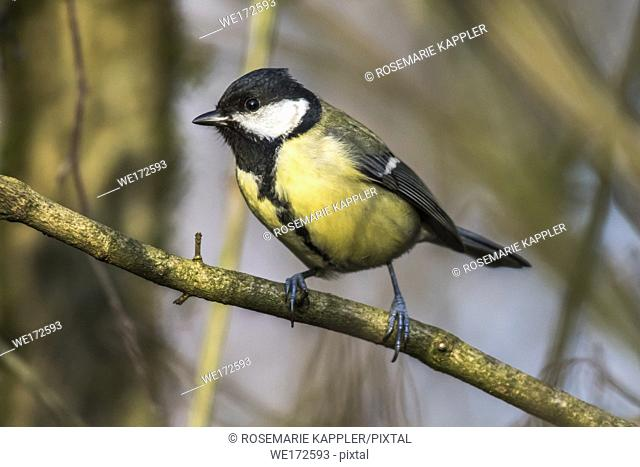 Germany, Saarland, Homburg - A great tit is sitting on a branch