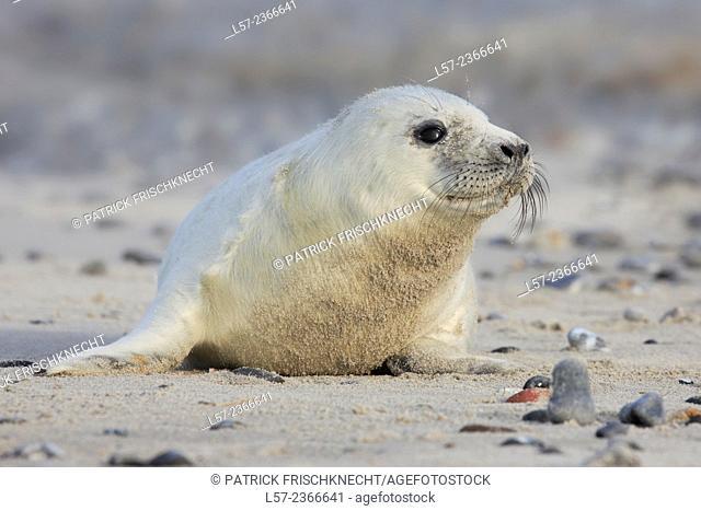 Grey seal, Helgoland-Duene, Germany