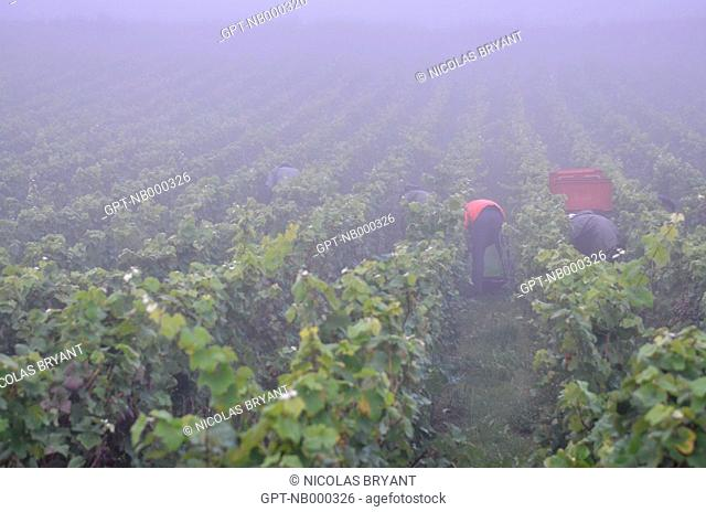 HAND HARVESTING OF CHAMPAGNE GRAPES, ESSOMES-SUR-MARNE, AISNE 02, FRANCE
