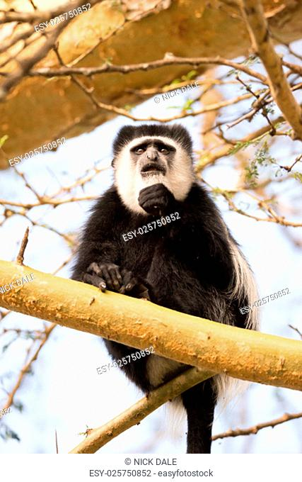 A black and white colobus monkey is sitting in a tree on a branch. It is putting its fist to its mouth and looking into the distance