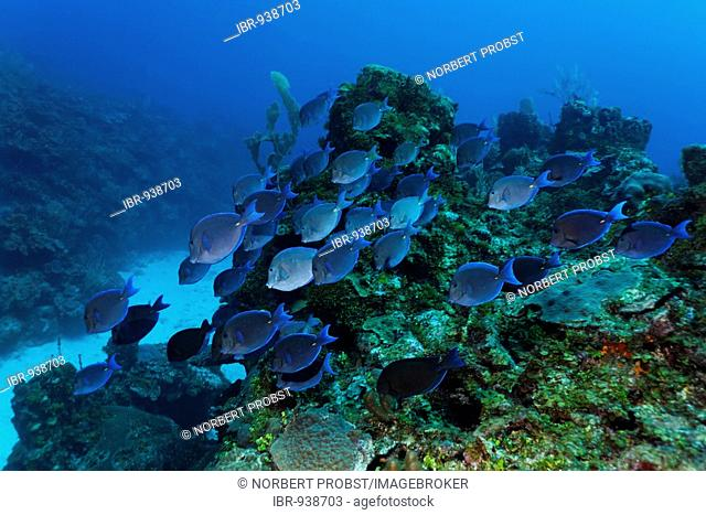 School of Atlantic Blue Tang Surgeonfish (Acanthurus coeruleus) swimming over the coral reef looking for food, barrier reef, San Pedro, Ambergris Cay Island