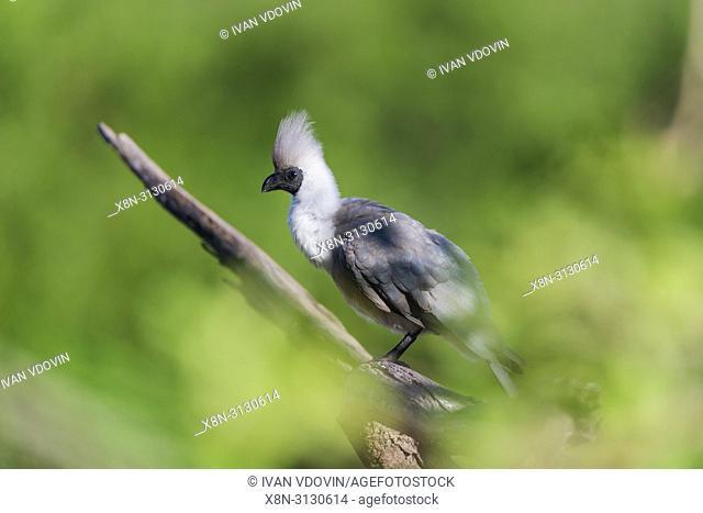 Bare-faced Go-away-bird (Corythaixoides personatus), Tanzania, East Africa