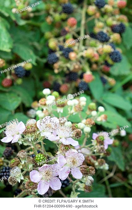Bramble (Rubus fruticosus) close-up of flowers, with berries in background, England, August