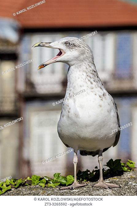 Seagull, Old Town, Porto, Portugal