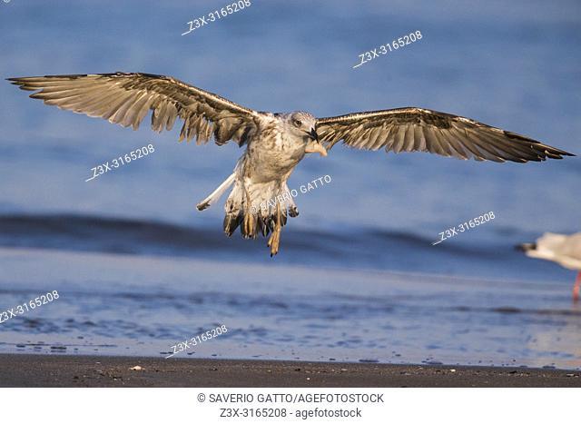 Yellow-legged Gull (Larus michahellis), landing on the shore