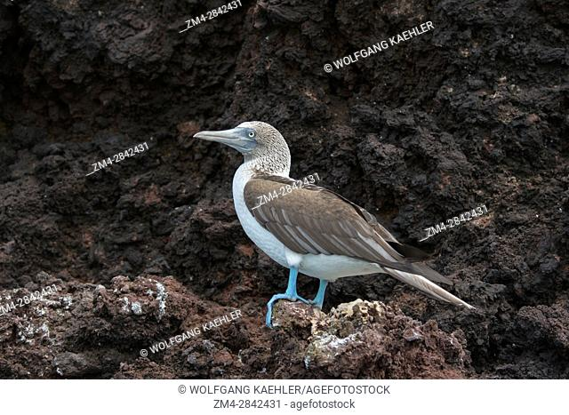 A Blue-footed booby (Sula nebouxii) is sitting on a lava cliff on Rabida Island (Jervis Island) in the Galapagos Islands, Ecuador