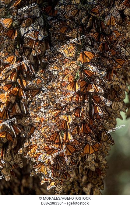 Mexico, State of Michoacan, Angangueo, Reserve of the Biosfera Monarca El Rosario, monarch butterfly (Danaus plexippus), wintering from November to March in...