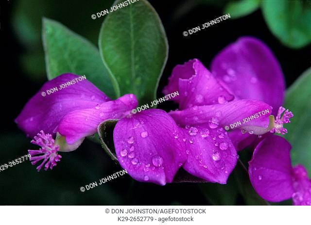 Fringed polygala/ gaywings (Polygala paucifolia), Greater Sudbury, Ontario, Canada