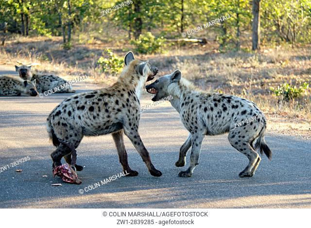 Spotted Hyena (Crocuta crocuta) aka Laughing Hyen fighting on road, Kruger National Park, Transvaal, South Africa