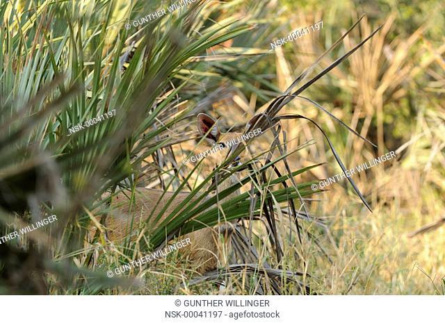 Bushbuck (Tragelaphus scriptus) female hiding behind palm tree, South Africa, Limpopo, Kruger National Park