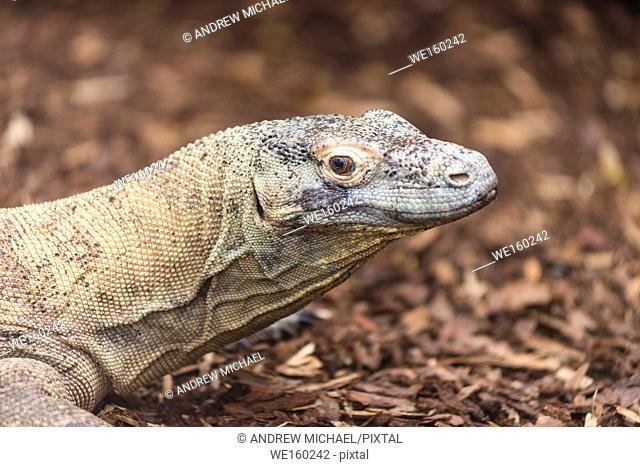 Komodo Dragon Varanus komodoensis close up