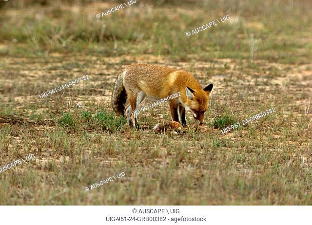 Red fox, Vulpes vulpes, Kinchega National Park, far western New South Wales, Australia. (Photo by: Auscape/UIG)
